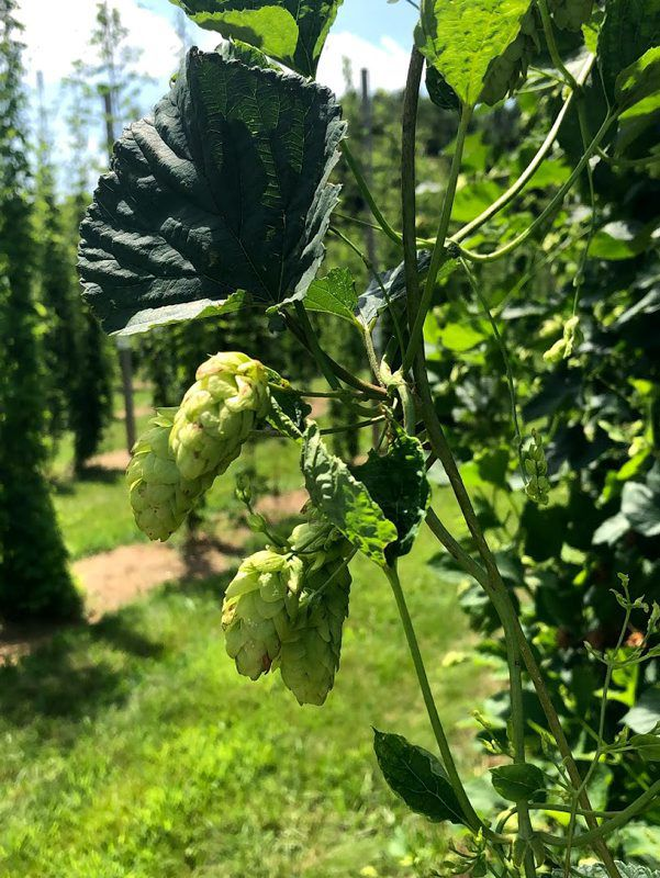 """Maryland Hops Are Happening"" – Lancaster Farming"